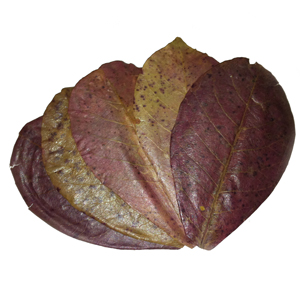 Indian Almond Leaves (IAL) 10 PACK